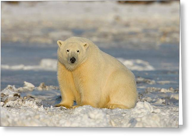 A Polar Bear Sits On The Frozen Surface Greeting Card by Hugh Rose