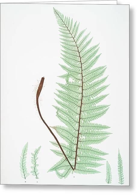 A. Polystichum Angulare. B. P. Angulare Hastulatum. C. P Greeting Card by Artokoloro