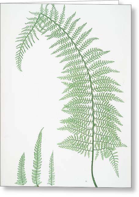 A. Polystichum Angulare Subtripinnatum. B. P Greeting Card by Artokoloro