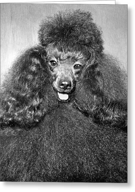A Poodle And His Hairdo Greeting Card by Underwood Archives