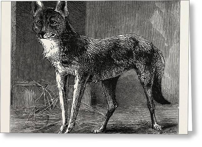 A Prairie Wolf, Caught In Epping Forest Now Being Exhibited Greeting Card