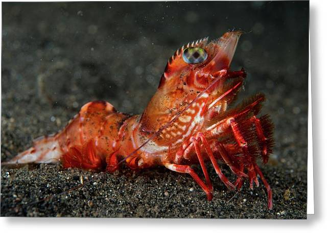 A Prawn On Volcanic Sand Greeting Card by Scubazoo