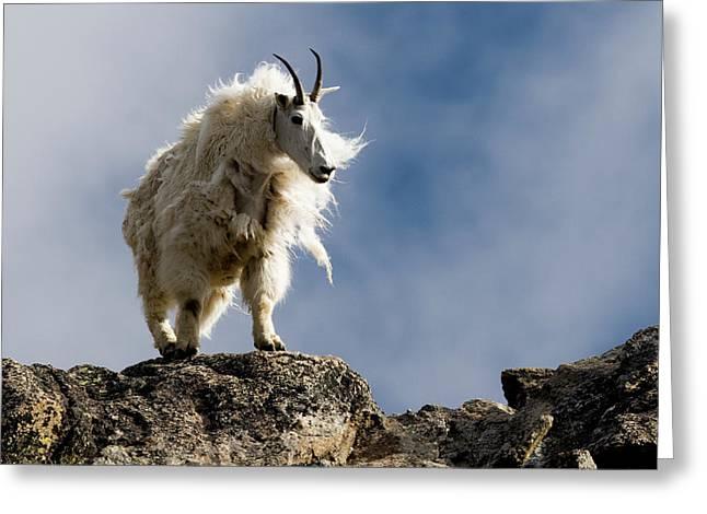 A Proud, Shaggy Mountain Goat Oreamnos Greeting Card