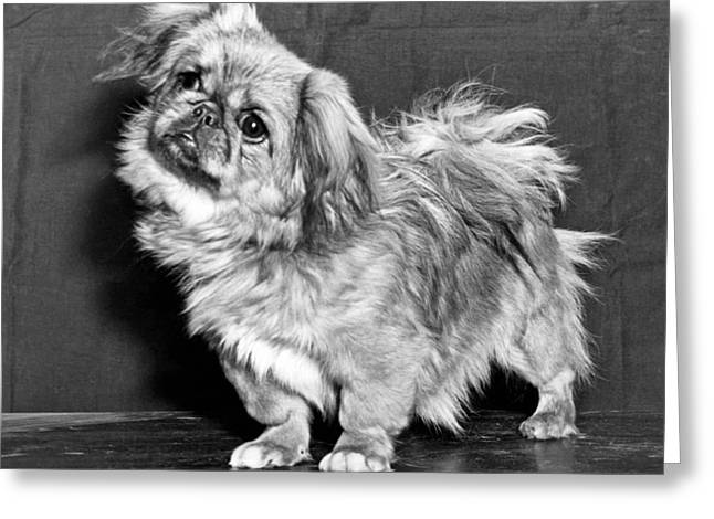 A Quizzical Pekingese Greeting Card by Underwood Archives