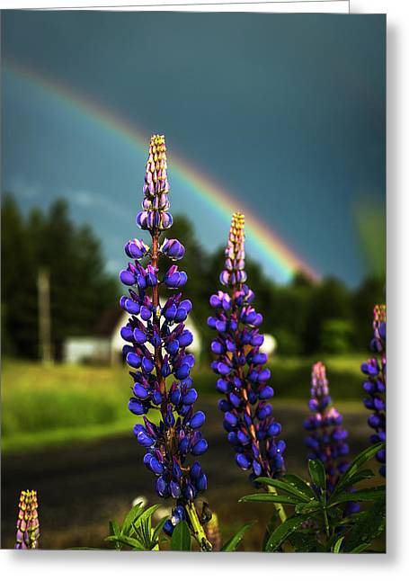 A Rainbow Arcs Over Lupine Blossom Greeting Card by Robert L. Potts
