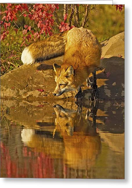 A Real Fox Greeting Card