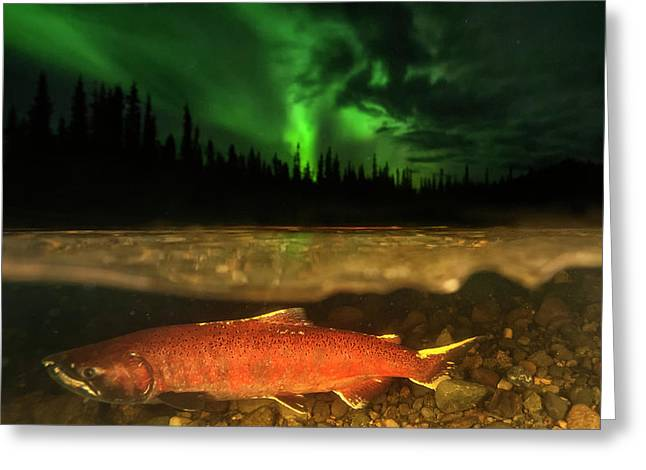 A Red Chinook Salmon Spawning Greeting Card by Peter Mather