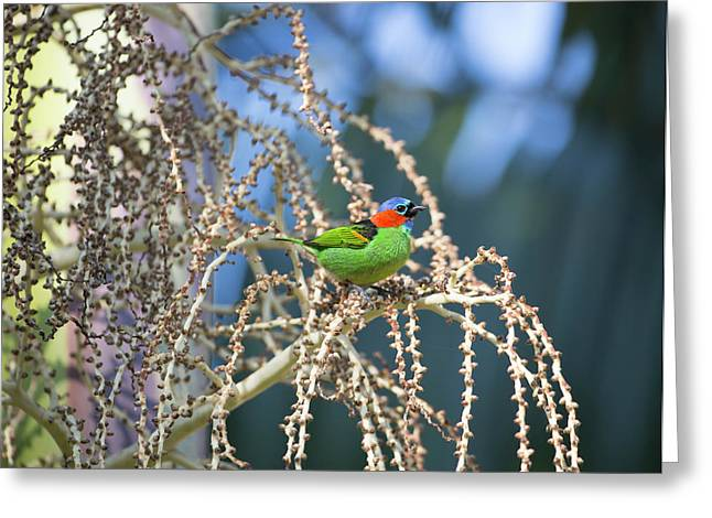 A Red-necked Tanager, Tangara Greeting Card by Alex Saberi