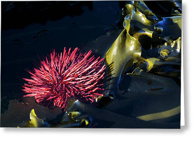 A Red Sea Urchin Is Exposed By A Minus Greeting Card