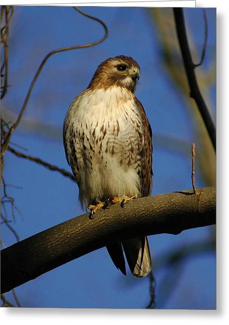 Greeting Card featuring the photograph A Red Tail Hawk by Raymond Salani III
