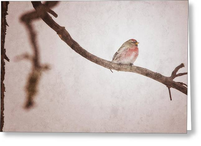 A Redpoll Bird On The Branch Of A Pine Greeting Card by Roberta Murray