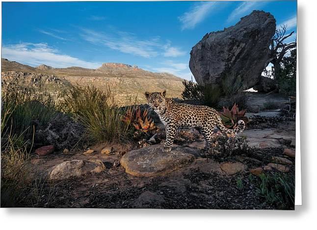 A Remote Camera Captures A Cape Leopard Greeting Card