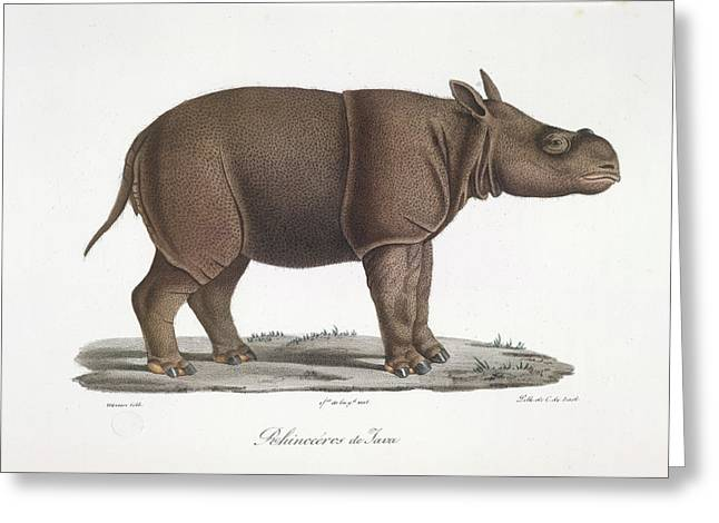 A Rhinoceros Of Java Greeting Card by British Library