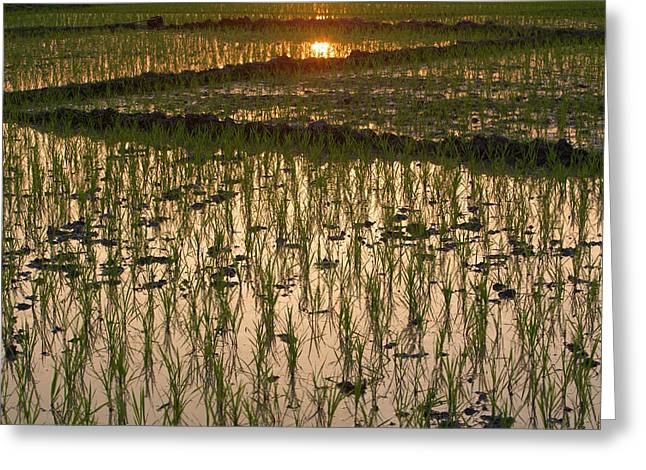 A Rice Paddy In Kaziranga National Park Greeting Card