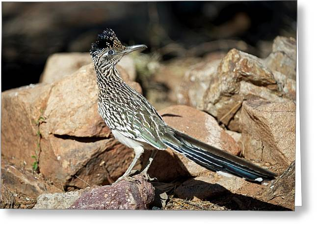 A Road Runner Pauses Momentarily Greeting Card by Richard Wright