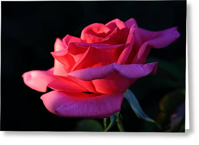 Greeting Card featuring the photograph A Rose Is A Rose by David Andersen