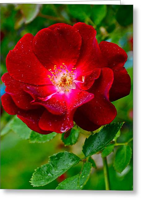 A Rose Is A Rose Greeting Card by Frozen in Time Fine Art Photography