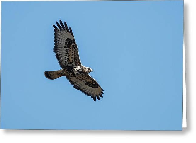A Rough-legged Hawk (buteo Lagopus Greeting Card