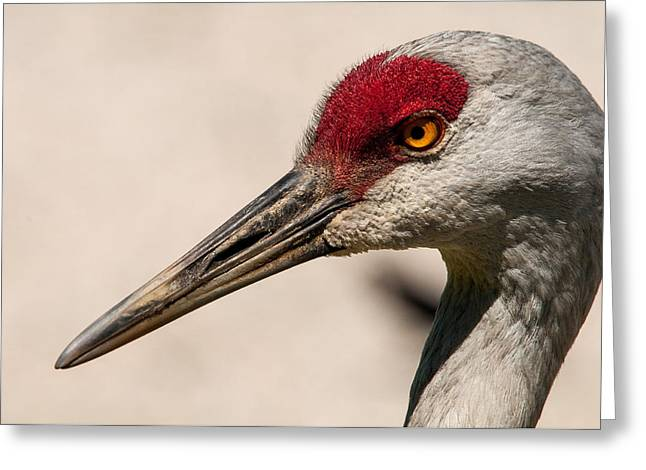 A Sandhill Crane Portrait Greeting Card