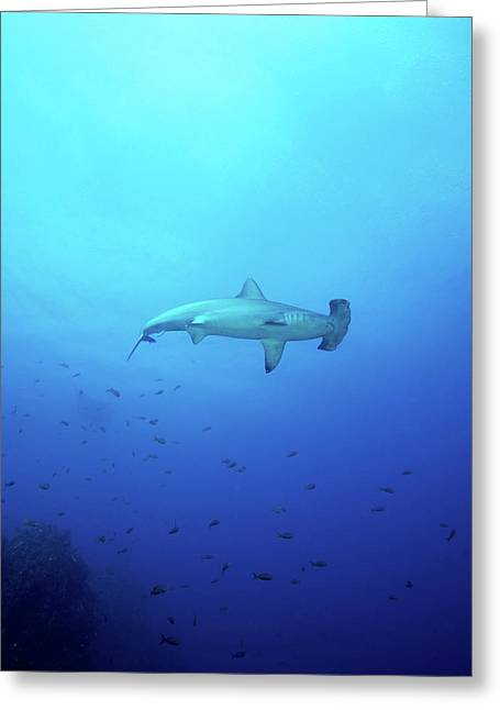 A Scalloped Hammerhead Shark Greeting Card by Brent Barnes