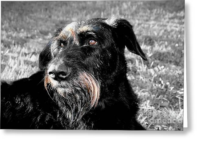 A Schnauzer's Plea  Greeting Card by Jo Collins