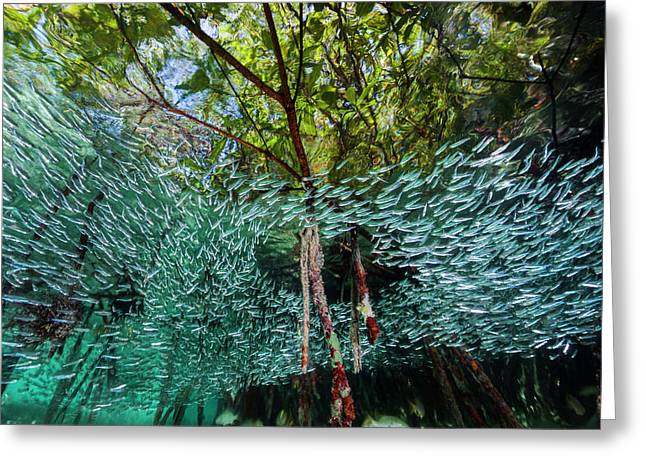 A School Of Silversides Swim Greeting Card by David Doubilet