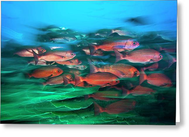 A School Of Slender Pinjalo Snappers Greeting Card