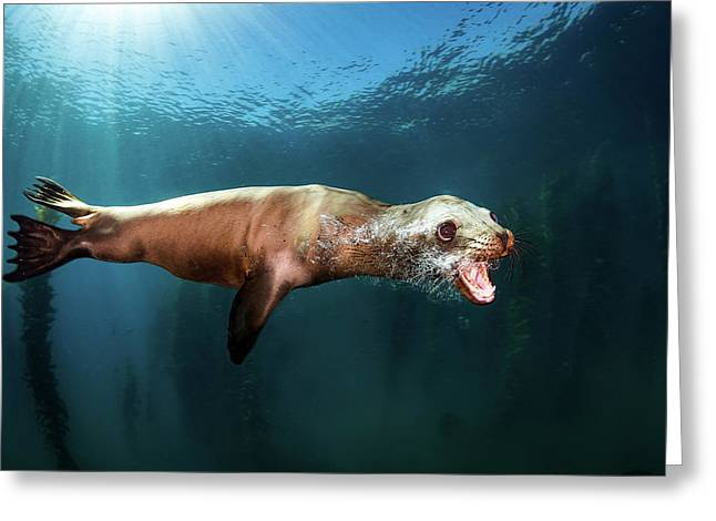 A Sea Lion Blows Bubbles As It Passes Greeting Card