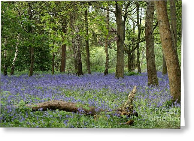 A Sea Of Bluebells Greeting Card