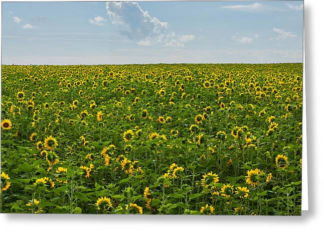 A Sea Of Sunflowers Greeting Card by Matt Dobson