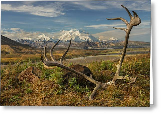 A Set Of Caribou Antlers At The Eielson Greeting Card