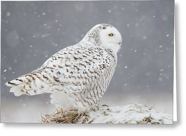 A Side Portrait Of Snowy Owl Greeting Card by Ming H Yao