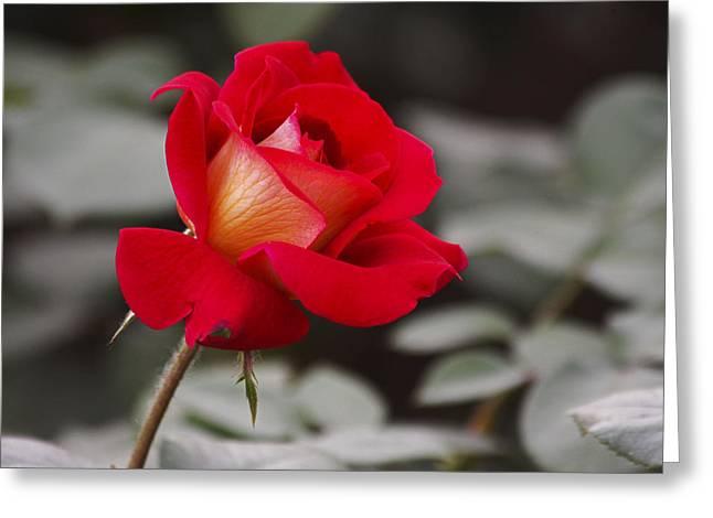 A Single Rose Greeting Card by Yun Qing Fu