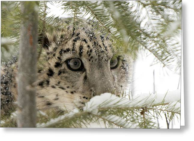 A Snow Leopard's Eyes Greeting Card