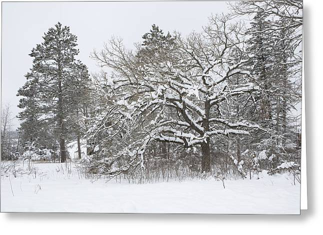 A Snowy Oak Tree Greeting Card