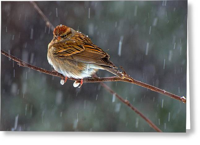 A Sparrow In Snow  Greeting Card
