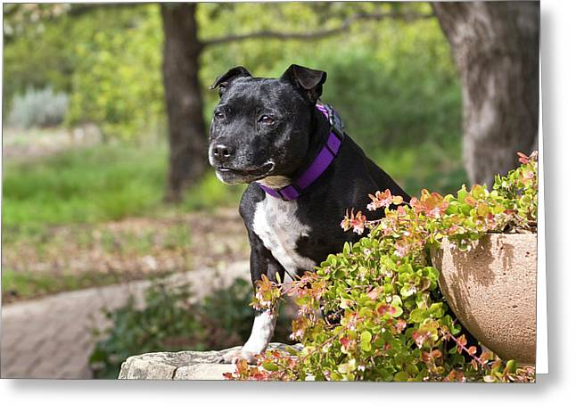 A Staffordshire Bull Terrier Sitting Greeting Card