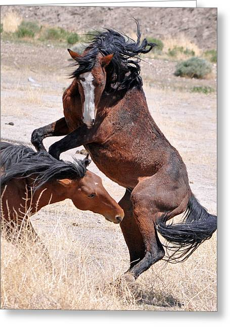 A Stallion Defends His Territory Greeting Card by Lula Adams