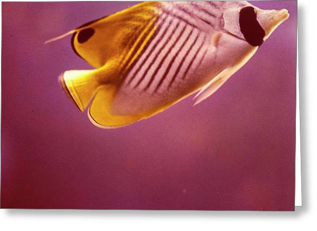 A Striped Butterfly Fish Greeting Card by Horst P. Horst