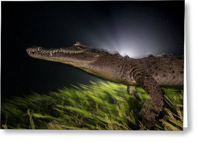 A Submerged American Crocodile Greeting Card by David Doubilet