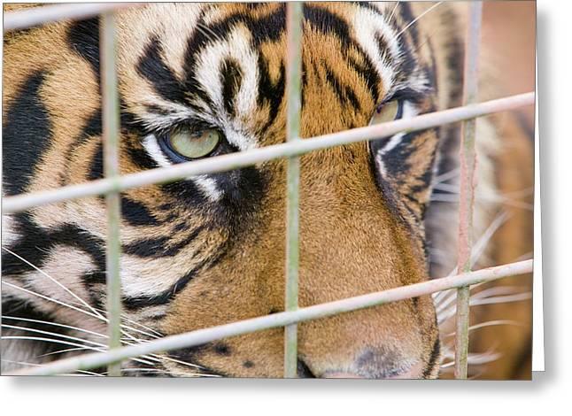 A Sumatran Tiger In Dalton Zoo Greeting Card