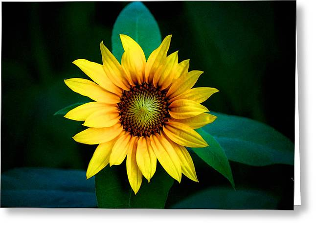 A Sunflower Named Stella Greeting Card by Gwyn Newcombe