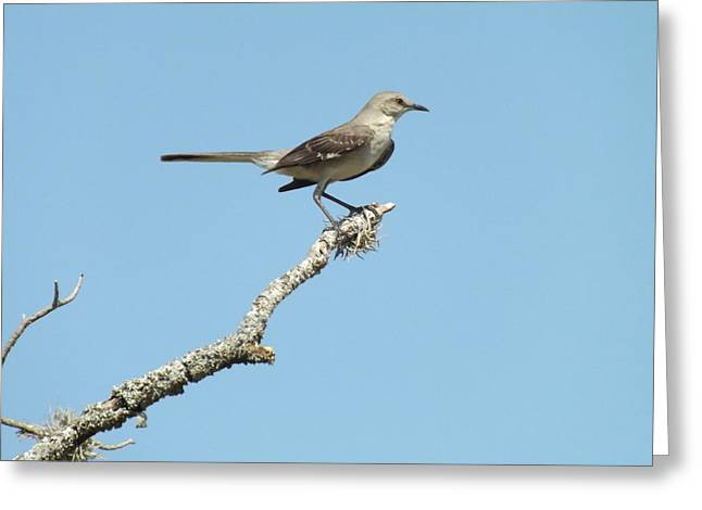 A Texas Mockingbird Greeting Card by Rebecca Cearley