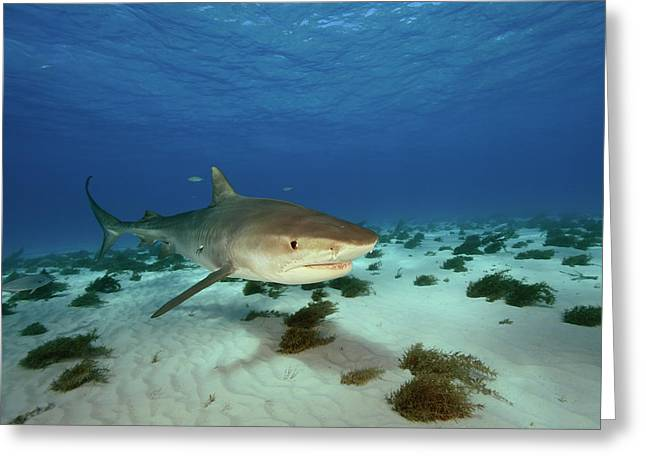 A Tiger Shark Cruises The Seafloor Greeting Card by Brian Skerry