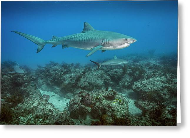 A Tiger Shark Swims Above A Coral Reef Greeting Card by Brian Skerry