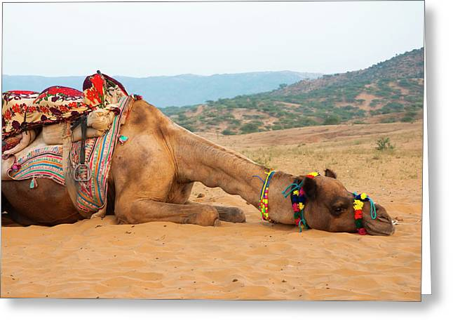A Tired Camel, Pushkar, Rajasthan, India Greeting Card by Inger Hogstrom