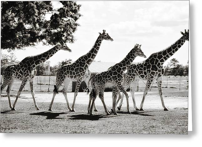 A Tower Of Giraffe - Black And White Greeting Card