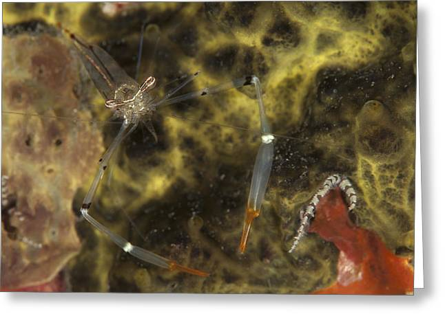 A Translucent Cuapetes Commensal Shrimp Greeting Card by Steve Jones