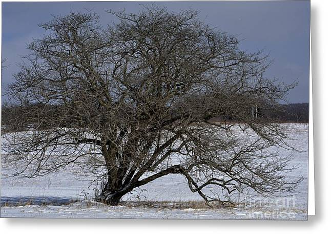 Greeting Card featuring the photograph A Tree In Canaan 2 by Randy Bodkins