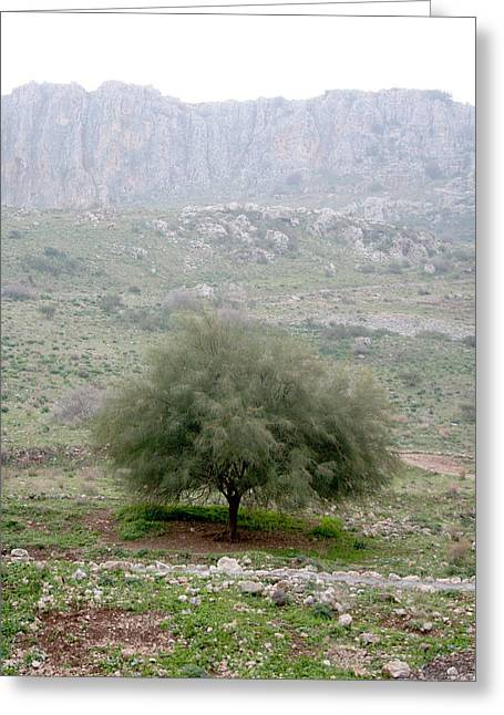 A Tree In Israel Greeting Card